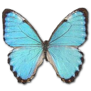 Morpho-Portis-Male icon