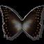 Morpho-Amphitrion icon