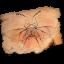 Coleopterus-persianatus icon