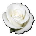 Rose-White-1 icon