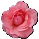 Wild-Rose-Pink-2 icon