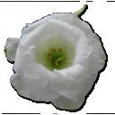 Wild-Rose-White-1 icon