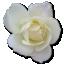 Rose-White-2 icon