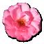Wild-Rose-Pink-1 icon