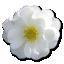 Wild-Rose-White-2 icon